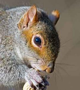 best nuts for gray squirrels