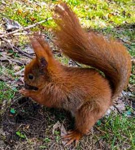 best nuts for red squirrels
