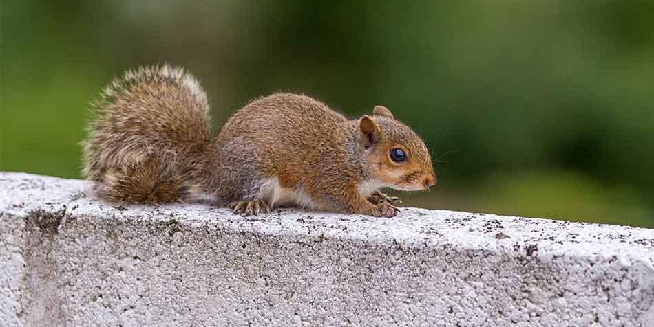 Esbilac Powder For Squirrels That Need To Be Handfed