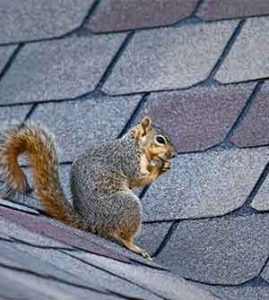 squirrel getting into attic
