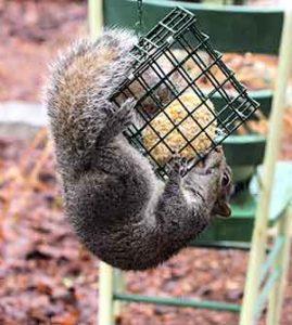 squirrel on suet feeder