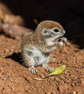 when do ground squirrels have babies