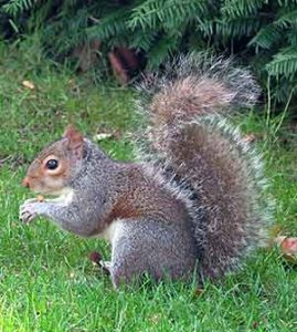 what do squirrels eat in the wild