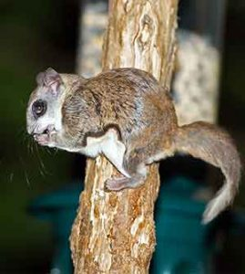 how much do flying squirrels eat