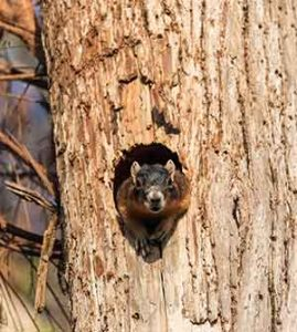 how much do fox squirrels eat