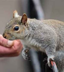 how much do grey squirrels eat