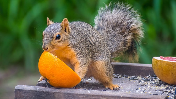 can squirrels eat mandarin oranges