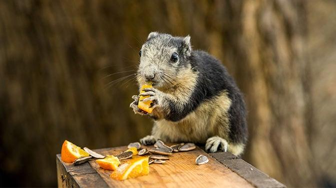 can squirrels eat oranges
