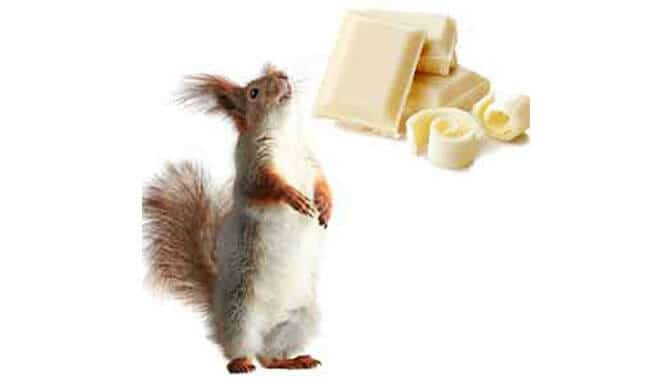 can squirrels eat white chocolate