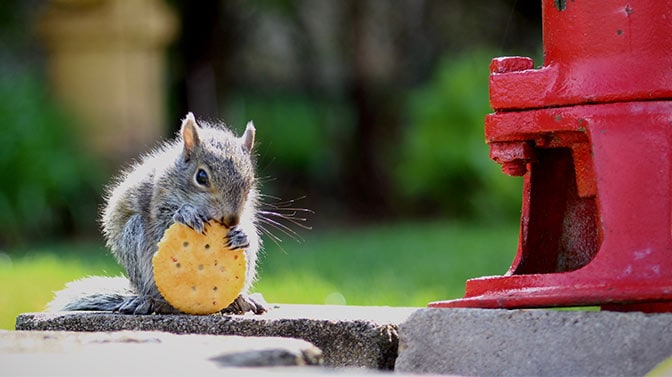 can you feed squirrels crackers