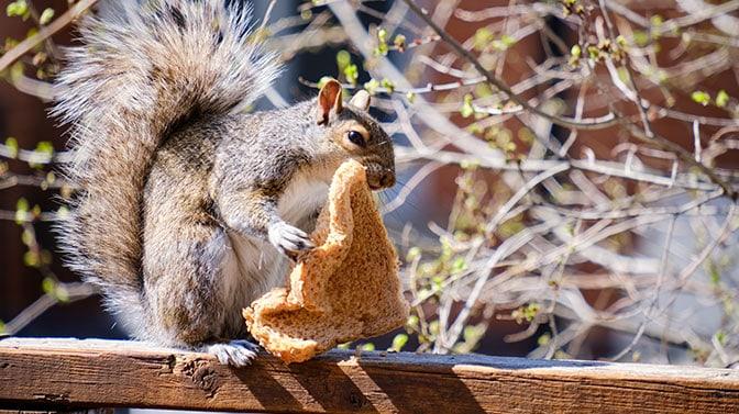 do squirrels eat bread