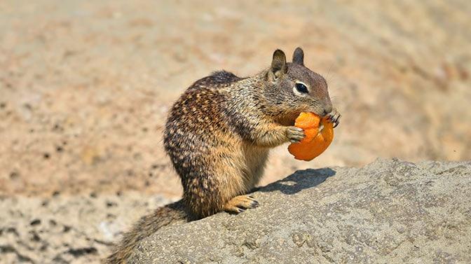do squirrels eat oranges