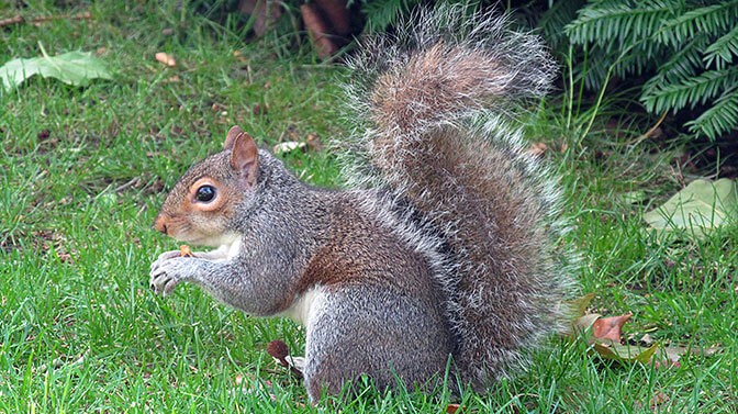 do squirrels eat raisins