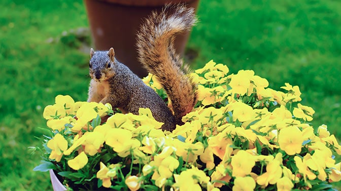 how do you keep squirrels out of flowers