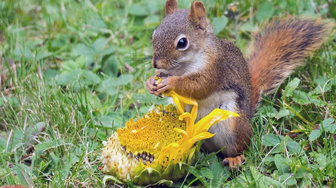 how to keep squirrels away from sunflower plants