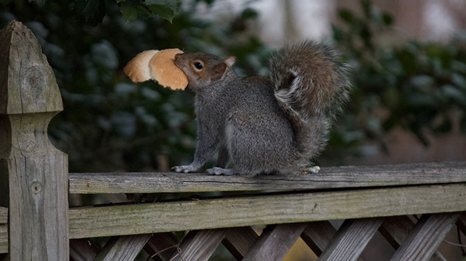 is bread bad for squirrels