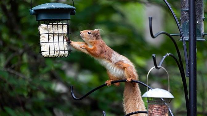 squirrel attacks bird feeder