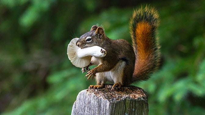 squirrel carrying mushroom to babies