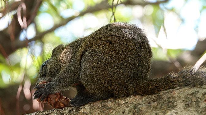squirrel eating chocolate squirrel