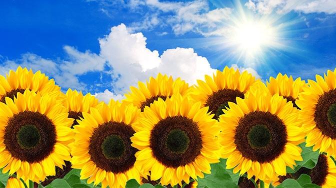 what animals eat sunflower plants