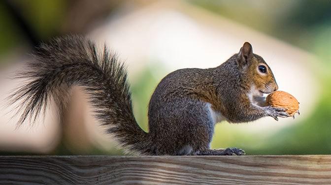 will squirrels eat walnuts
