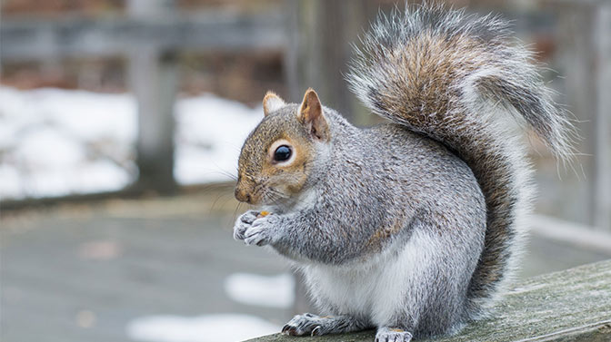 average lifespan of a gray squirrel