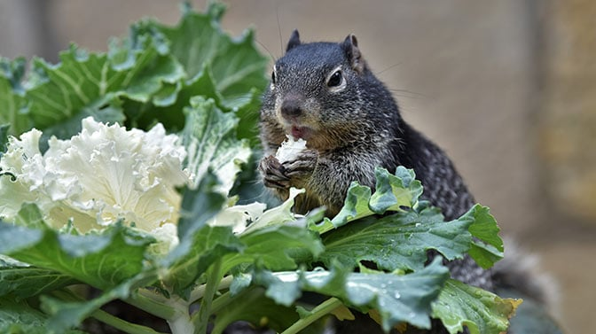 do squirrels eat rhododendrons