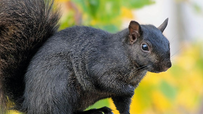 how long does a black squirrel live