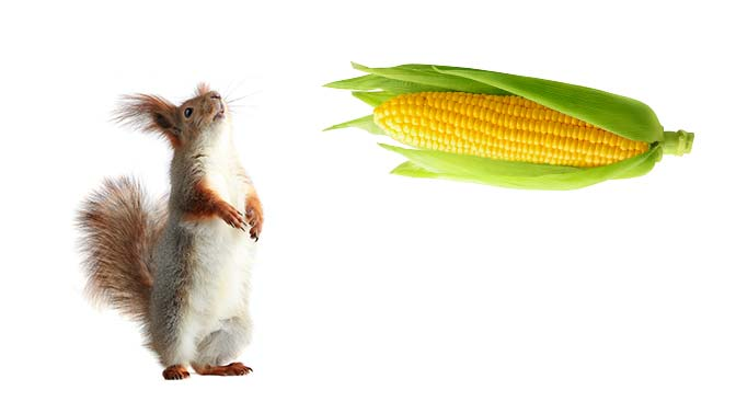 can squirrels eat corn