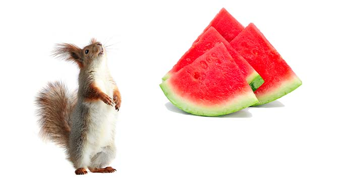 can squirrels eat watermelon