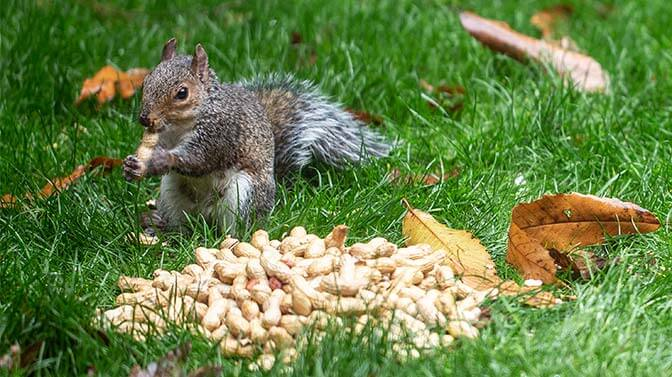 do squirrels eat the peanut shell