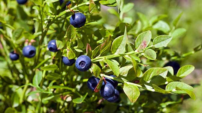 squirrels love blueberries