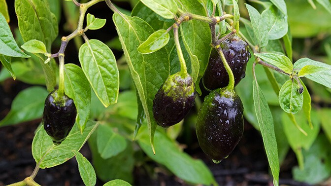 can squirrels eat purple jalapenos