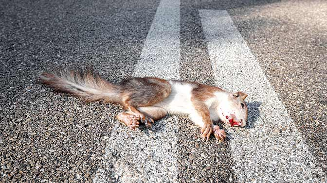 why do squirrels stop in the middle of the road